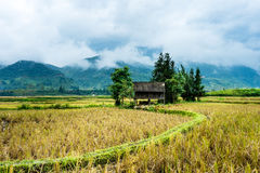 The filde. In yenbai province- vietnam Stock Image
