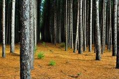 File commerciali della foresta della polpa del pino con i piccoli alberi che crescono in mezzo Fotografia Stock