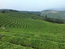 File degli alberi del tè Immagine Stock