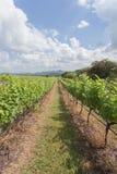 File degli alberi dell'uva prima della raccolta nella vigna di Hua Hin, T fotografia stock libera da diritti