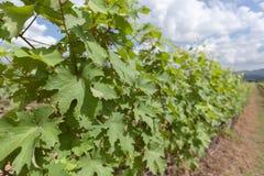 File degli alberi dell'uva prima della raccolta nella vigna di Hua Hin, T immagini stock