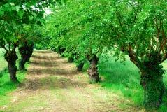 File degli alberi di gelso con i giacimenti di grano vicino a Vicenza in Veneto (Italia) Immagine Stock