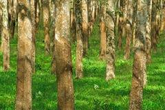 File degli alberi di gomma usati per creare i prodotti della gomma e del lattice Immagini Stock