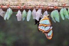 File dei bozzoli della farfalla Immagini Stock