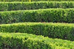 File dei cespugli verdi in un giardino convenzionale Fotografie Stock