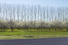 File dei fiori di ciliegia e degli alberi più alti nel fondo con la strada Immagini Stock