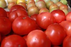 File dei pomodori del supporto dell'azienda agricola Immagini Stock