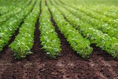File dei raccolti coltivati del fagiolo della soia Fotografie Stock Libere da Diritti