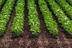 File dei raccolti coltivati del fagiolo della soia Fotografia Stock