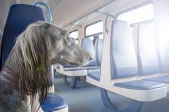 File dei sedili molli blu in un vagone del passeggero Il cane guarda fuori la finestra e pensa al grande viaggio fotografia stock