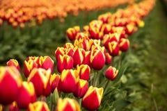 File dei tulipani rossi e gialli del campo Fotografie Stock