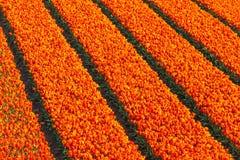 File dei tulipani rossi ed arancio su un campo dell'azienda agricola Fotografia Stock Libera da Diritti