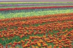 File dei tulipani variopinti nel giacimento di fiore in Olanda Immagine Stock Libera da Diritti