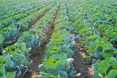 File del campo di Cabage Agricoltura del cavolo organico Cavolo sul campo pronto a raccogliere Immagine Stock Libera da Diritti