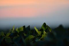 File del giacimento della soia nel tramonto Immagine Stock Libera da Diritti