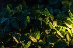 File del giacimento della soia nel tramonto Fotografie Stock