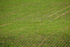 File del giacimento della soia in primavera Fotografia Stock