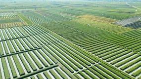File del terreno coltivabile della cipolla rossa Fotografia Stock