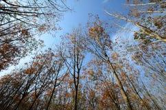 File dell'albero della gomma, Tailandia. Immagine Stock Libera da Diritti