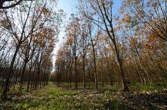 File dell'albero della gomma, Tailandia. Immagine Stock