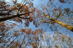 File dell'albero della gomma, Tailandia. Fotografia Stock Libera da Diritti