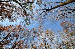 File dell'albero della gomma, Tailandia. Immagini Stock