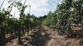 File dell'uva sui sostegni di legno pronti ad essere selezionato in vigna stock footage