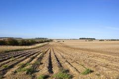 File della patata nella fine dell'estate Fotografie Stock