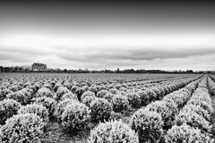 File della pianta in Olanda Fotografie Stock