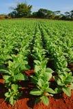 File della piantagione del tabacco in Vinales, Cuba Fotografie Stock