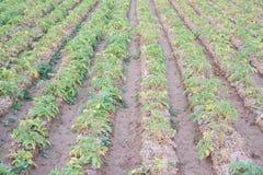File della piantagione della patata sopra i solchi Fotografia Stock Libera da Diritti