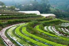 File della piantagione della lattuga e della verdura fresche di agricoltura esperta e della serra alla campagna Fotografie Stock