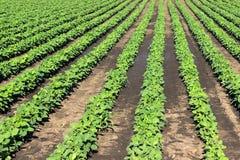 File della soia verde contro il cielo blu La soia sistema le file Fotografia Stock