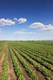File della soia verde contro il cielo blu La soia sistema le file Fotografie Stock Libere da Diritti