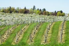 File della vigna dell'uva in Sicilia Immagini Stock