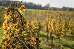 File della vigna dopo la raccolta in Slovacchia DOF basso fotografia stock libera da diritti