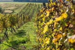 File della vigna dopo la raccolta in Slovacchia DOF basso immagine stock libera da diritti