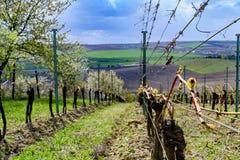 File della vigna in primavera con cielo blu Immagini Stock Libere da Diritti