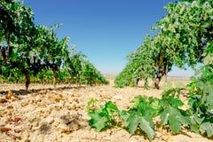 File della vigna in Spagna Uva Tinta de Toro Fotografia Stock Libera da Diritti