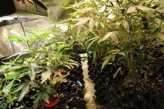 File delle cannabis che crescono nel suolo Immagine Stock