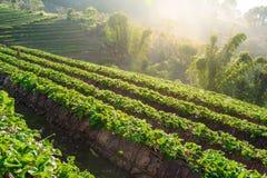 File delle fragole in un'azienda agricola della fragola Immagini Stock Libere da Diritti