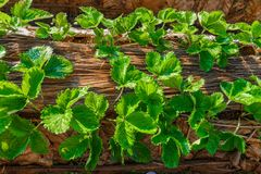 File delle fragole in un'azienda agricola della fragola Fotografie Stock