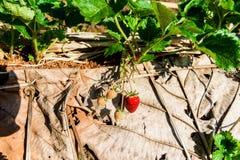 File delle fragole in un'azienda agricola della fragola Fotografie Stock Libere da Diritti