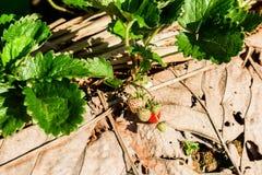 File delle fragole in un'azienda agricola della fragola Fotografia Stock