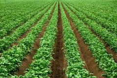File delle piante coltivate verde vibranti Immagini Stock Libere da Diritti