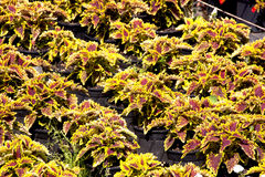 File delle piante del fogliame di Varigated in una regolazione della scuola materna Immagine Stock