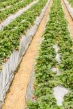 File delle piante di fragola con il film d'argento all'azienda agricola Fotografie Stock