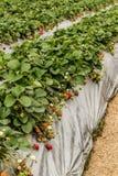 File delle piante di fragola con il film d'argento all'azienda agricola Immagine Stock