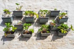 File delle piante di fragola in un giardino verticale che appende su una parete Fotografia Stock Libera da Diritti