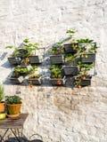 File delle piante di fragola in un giardino verticale che appende su una parete Fotografie Stock